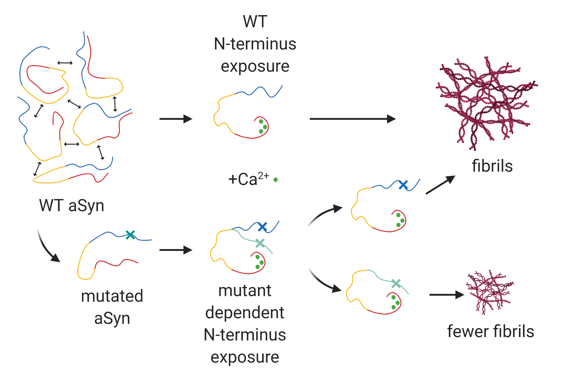 Figure showing that increased N-terminus exposure leads to the formation of more aggregated fibrils of both wild-type and mutated aSyn